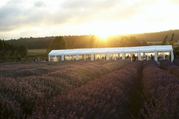 Wedding marquee in lavender field