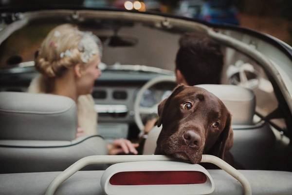 Dog looking out the back of wedding car - Picture by Mark Tattersall Photography