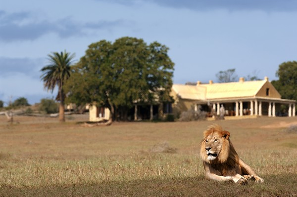 Lion Outside Gorah Elephant Camp, South Africa