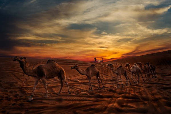 Camels walking across desert with bride and groom in background - Picture by Photo-4U Pasquale Minniti