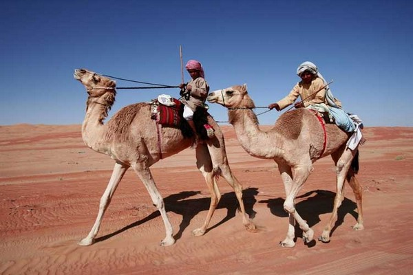 Camels in Oman, Middle East