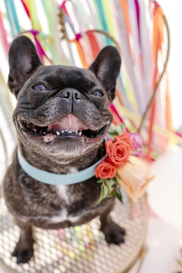 French bulldog with flowers on collar