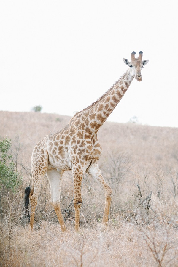 Giraffe at Nambiti Private Game Reserve