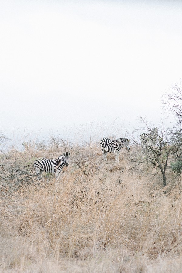Zebras at Nambiti Private Game Reserve