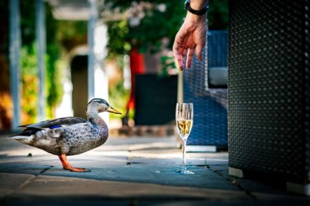 Duck standing next to glass of champagne as hand reaches down to pick it up - Picture by Andrew Billington Photography