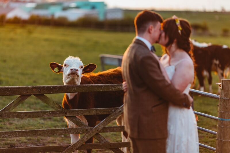Bride and groom kissing with cow behind them - Picture by Sarah Maria Photography