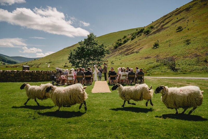 Sheep running past wedding ceremony in field - Picture by Andy Gaines